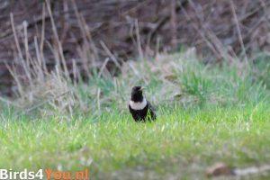 Vogelbeobachtung in den Niederlanden Ringdrossel