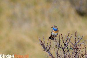 Vogelbeobachtung Texel Blaukehlchen