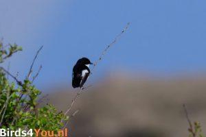 Birding Texel European Pied Flycatcher