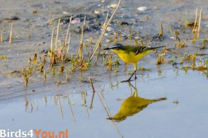 Birding Holland Western Yellow Wagtail