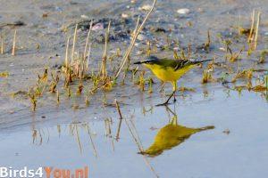 Vogelbeobachtung in den Niederlanden Wiesenschafstelze