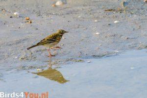 Birding Texel Meadow Pipit