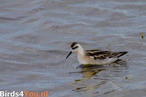 Vogelbeobachtung in den Niederlanden Odinshühnchen