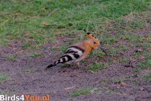 Vogelbeobachtung Texel Wiedehopf