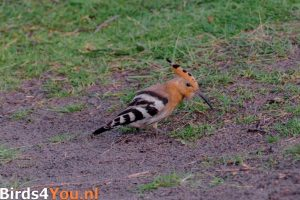 Vogelexcursie Texel Hop
