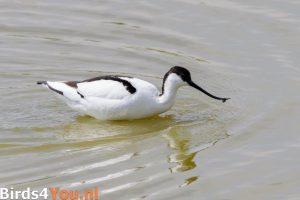 Vogelexcursie Texel Kluut