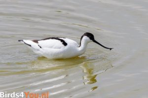 Birding Texel Pied Avocet