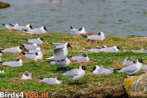 Vogelexcursie Texel Kokmeeuwen - Meeuwenkolonie