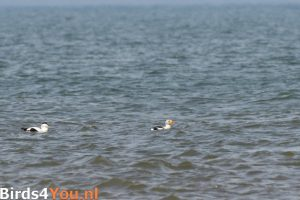 Vogelexcursie Texel Koningseider