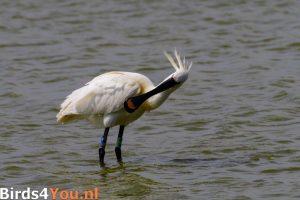 Vogelexcursie Texel Lepelaar