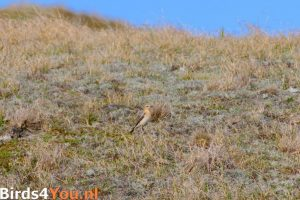 Vogelexcursie Texel Tapuit