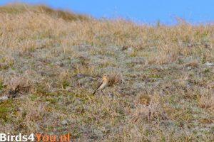 Birding Holland Northern Wheatear