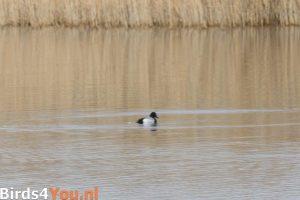 Birding Texel Bergente