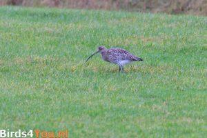 Vogelexcursie Texel Wulp