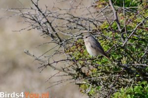 Birding Texel Black Redstart
