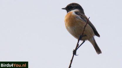 Vogelexcursie 13 mei 2017 Vogelweek van Drentsche Aa tot Noordlaarderbos