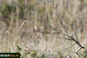 Vogelexcursie XL op Texel Kneu man
