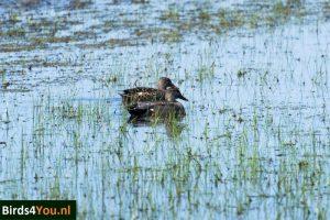 Vogelexcursie XL op Texel Krakeenden paar