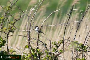 Vogelexcursie XL op Texel Rietgors man