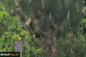 Geelgors Vogelexcursie Drentsche Aa