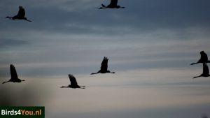 Kraanvogelexcursie Diepholz Duitsland