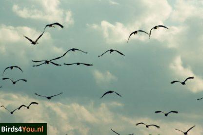 Kraanvogel vogelexcursie Diepholz Duitsland