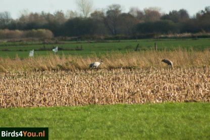 Kraanvogel vogelexcursie Diepholz maisveld foeragerend
