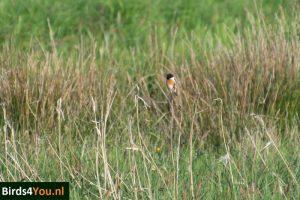 Vogelexcursie Roodborsttapuit