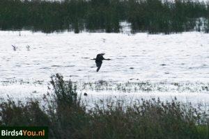 Zwarte Ibis Dannemeer