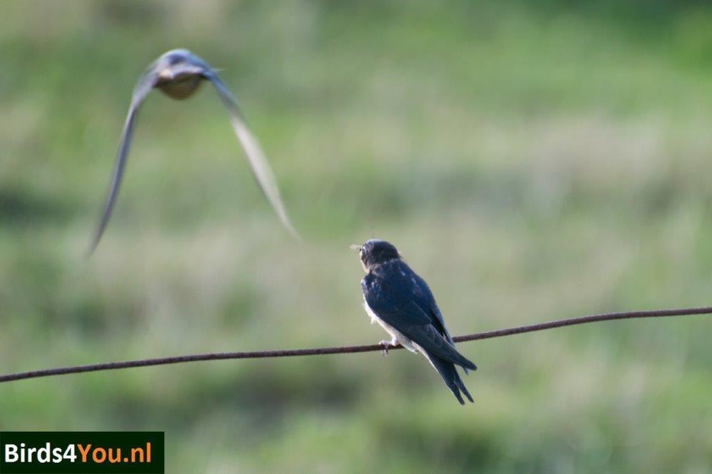 Boerenzwaluw Vogels kijken Elbe