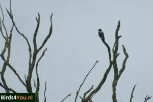 Bonte Kraai Vogels kijken Elbe