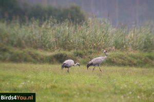 Kraanvogels Vogels kijken Elbe