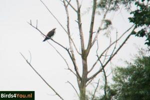 Visarend in boomVogels kijken Elbe