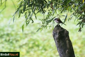Vogels kijken Elbe Grauwe Klauwier man