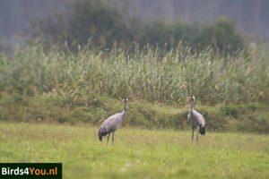 Vogels kijken Elbe Kraanvogels