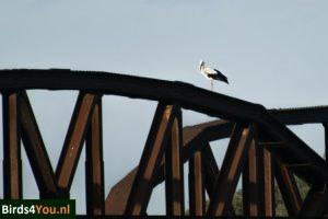 Vogels kijken Elbe Ooievaar