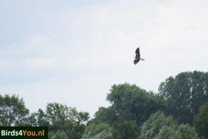 Vogels kijken Elbe Rode Wouw