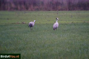 kraanvogel paar Diepholz