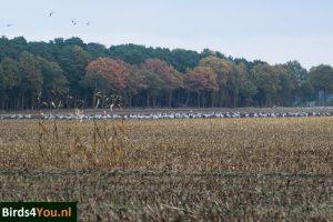 Kraanvogelexcursie groep Kraanvogels in het veld