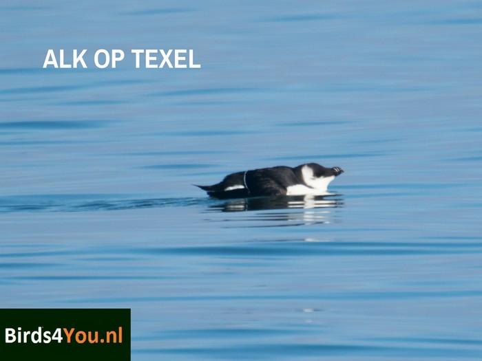 Vogels kijken Alk Texel