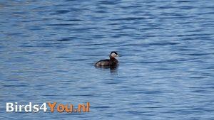 Birding Tour Diependal Netherlands Red-necked Grebe
