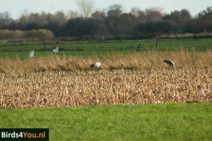 Birding Tour Fochteloërveen Netherlands Cranes