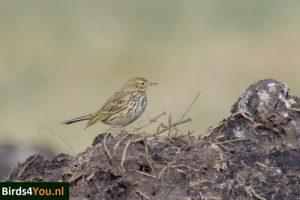 Birding Tour Fochteloërveen Netherlands Meadow pipit