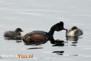 Birding Tour Fochteloërveen Netherlands black-necked greb