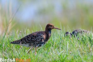 Vogelexcursie Kemphanen