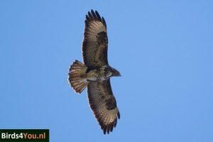 Vogelexcursie Zuidlaardermeer Buizerd