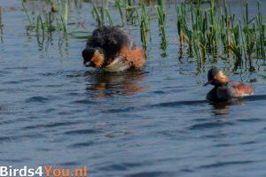 Vogelexcursie Zuidlaardermeer Geoorde Fuut