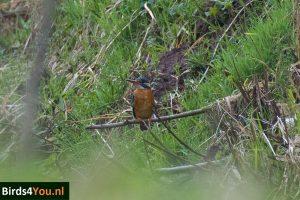 Birding tour Zuidlaardermeer Kingfisher