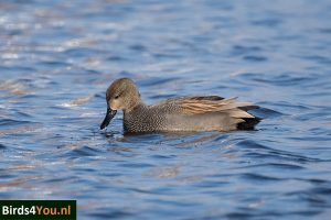 Birding tour Zuidlaardermeer Gadwall