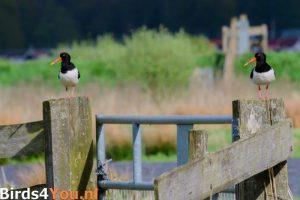 Vogelexcursie-Zuidlaardermeer-Scholeksters